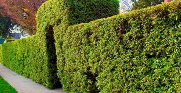 Живые изгороди из лиственных растений