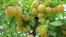 Выращивание алычи в Средней полосе: сорта, посадка и уход