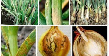 Опасные болезни и вредители лука в хранении