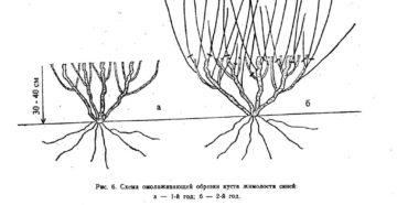 Жимолость съедобная: посадка и обрезка
