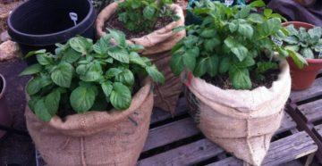 Выращивание картофеля в мешках: посадка и уход пошагово