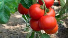 Сорта томатов для раннего урожая