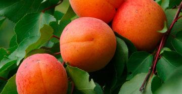 Районированные сорта вишни и абрикоса для Дальнего Востока