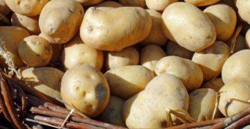 Заготовка семенного картофеля