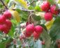 Яблоня сливолистная, или китайка