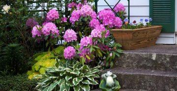 Рододендрон в дизайне сада: где и с чем посадить