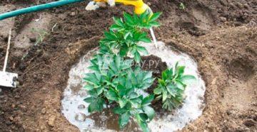 Уход за пионами: полив и подкормки весной, летом и осенью