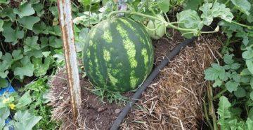 Выращивание арбузов в Подмосковье: через рассаду, в теплице и в открытом грунте