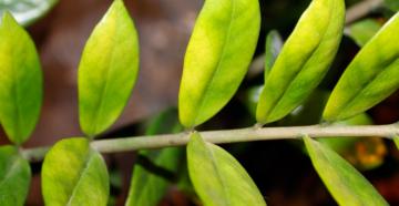 Замиокулькас пожелтели листья что делать
