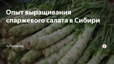 Опыт выращивания спаржевого салата в Сибири