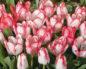 Тюльпаны Триумф: сорта, посадка и уход