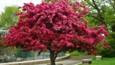 Экзотические деревья для Сибири