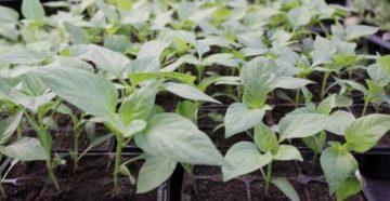Выращивание рассады перцев в Сибири