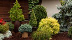 Хвойные растения: посадка и уход