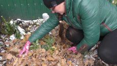 Рододендрон: подготовка к зиме и укрытие в Подмосковье