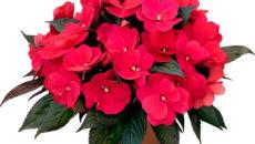 Комнатный цветок бальзамин уход
