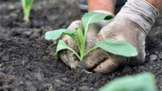 Как вырастить капусту белокочанную: посев на рассаду, посадка и уход в открытом грунте