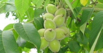 Как вырастить маньчжурский орех в Сибири