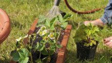 Земляника в июне: полив, размножение, борьба с вредителями