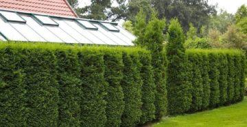 Быстрорастущая живая изгородь: посадка и выбор растений