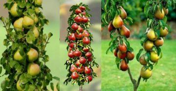 Колонновидные плодовые деревья: посадка и уход