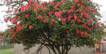 Гибискус дерево