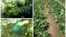 Как вырастить арбузы и дыни в Сибири