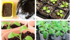 Посев и уход за рассадой петунии