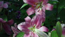 Восточные лилии: сорта, посадка и уход