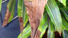 Уход за драценой в домашних условиях желтеют листья