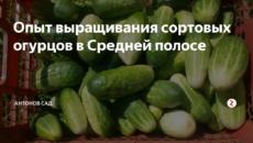 Опыт выращивания сортовых огурцов в Средней полосе