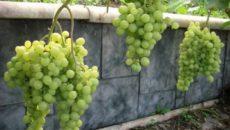 Выращивание винограда в Сибири: советы для начинающих