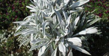Серые оттенки сада: растения с серебристыми листьями