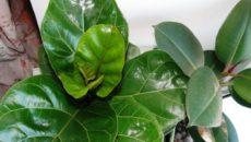 Выращивание фикуса: сорта, уход и размножение