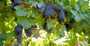 Как вырастить виноград в суровом климате: 8 советов опытного виноградаря