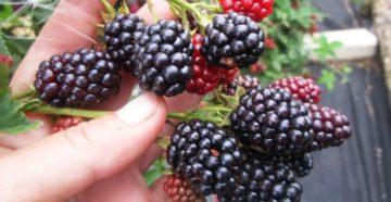 Ежевика: описание сортов и особенности выращивания