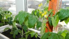 Огурцы, томаты, зелень и фасоль: выращиваем на подоконнике зимой