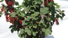 Штамбовая культура крыжовника и смородины: 2 способа выращивания