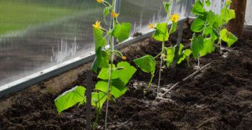 Посев огурцов в теплицу