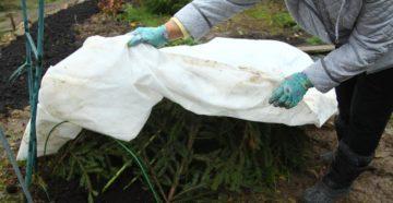 Укрытие плетистых роз на зиму в Средней полосе