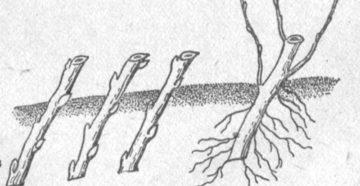 Размножение вишни черенками и косточками