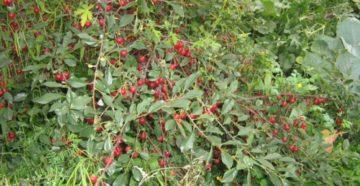 Выращивание вишни степной (кустарниковой)