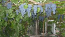 Выращивание винограда Память Домбковской (БЧЗ)