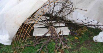 Розы на зиму: подготовка и воздушно-каркасное укрытие