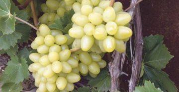 Саженцы винограда: как вырастить и от чего зависит урожайность