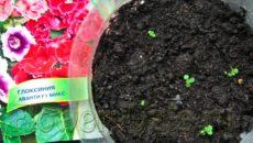 Глоксиния выращивание из семян в домашних условиях