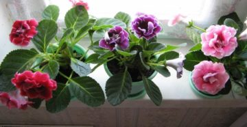 Глоксиния махровая выращивание из семян уход