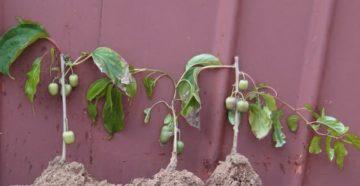 Выращивание актинидии: посадка, уход и размножение
