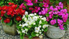 Вечноцветущая бегония уход в домашних условиях