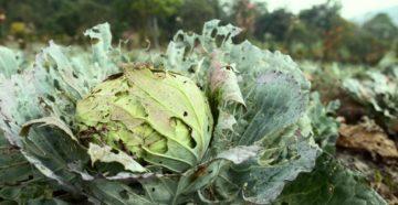 Вредители капусты и средства защиты от них
